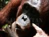 Orangutan, Kalimantan