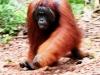 Orangutan, Tanjung Puting